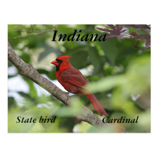 Northern cardinal postcard