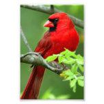 Northern cardinals photograph