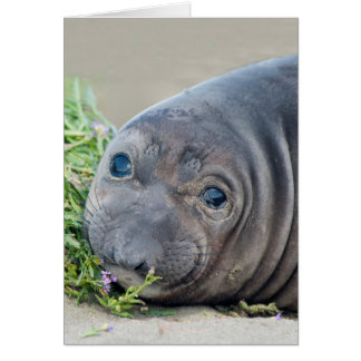 Northern Elephant Seal Pup at Piedras Blancas Card