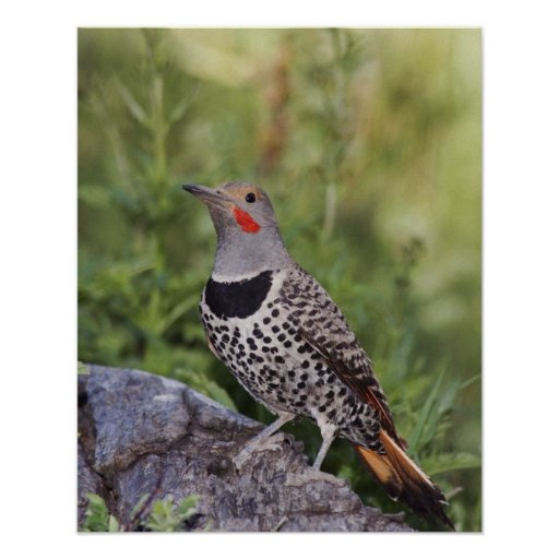 Northern Flicker, Colaptes auratus, Red-shafted Posters