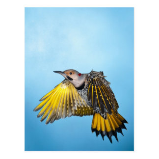 Northern Flicker Flying 3 Postcard
