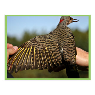 Northern Flicker, Yellow-shafted Postcard