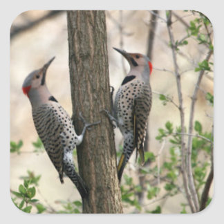 Northern Flickers Stickers