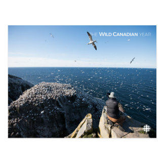 Northern Gannets Postcard
