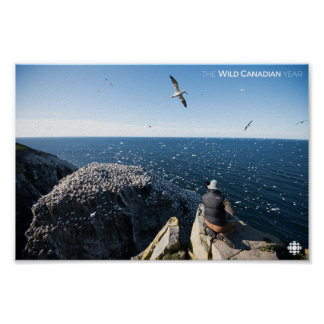 Northern Gannets Poster