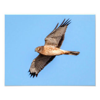 Northern Harrier in Flight Photo Art