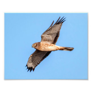 Northern Harrier in Flight Photographic Print