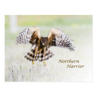 Northern Harrier Postcard