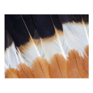Northern Lapwing Feather Abstract Postcard