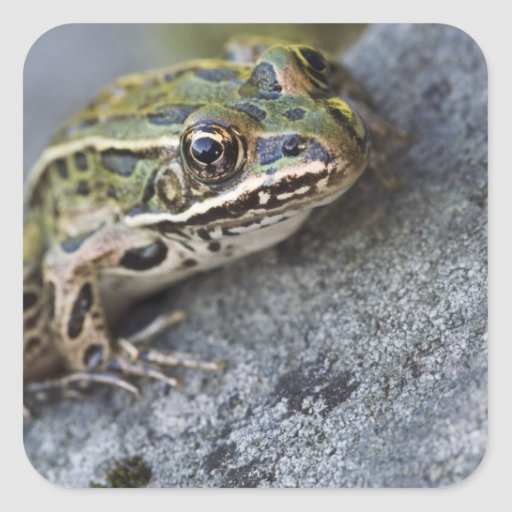 Northern Leopard frog, See-through Island, Square Stickers
