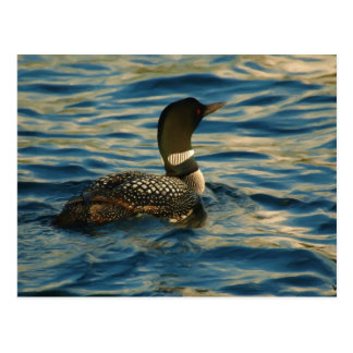 Northern Loon Postcard