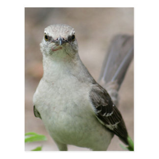 Northern Mockingbird Photo Postcard