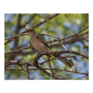 Northern Mockingbird Singing Poster