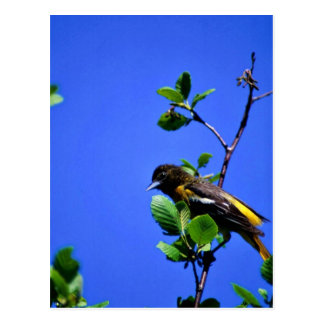 Northern Oriole Postcard