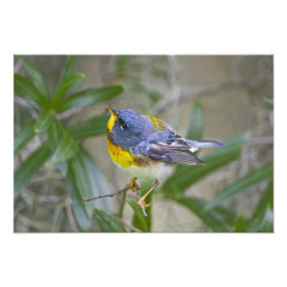 Northern Parula Parula americana) male Art Photo