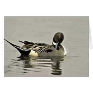 Northern Pintail Duck Card