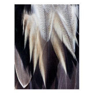 Northern Pintail Duck feather Postcard