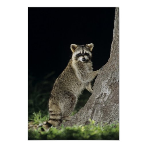 Northern Raccoon, Procyon lotor, adult at tree Poster