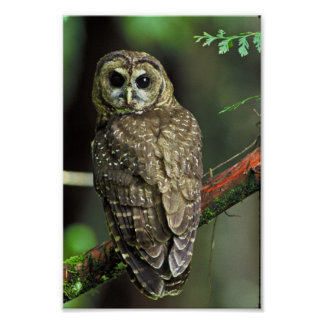 Northern Spotted Owl Poster