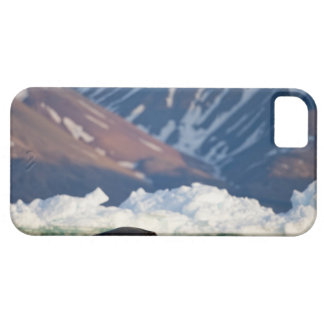 Norway, Svalbard, Spitsbergen Island, Bearded 2 iPhone 5 Cases