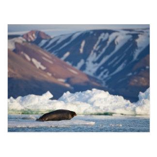 Norway, Svalbard, Spitsbergen Island, Bearded 2 Post Card
