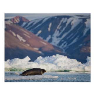 Norway, Svalbard, Spitsbergen Island, Bearded 2 Poster
