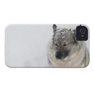 Norwegian Elkhound iPhone 4 Cases