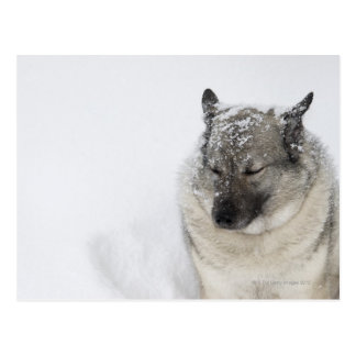 Norwegian Elkhound Postcard