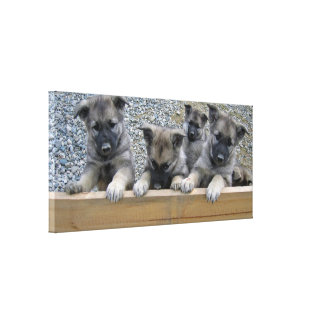 Norwegian Elkhound Puppies Canvas Print