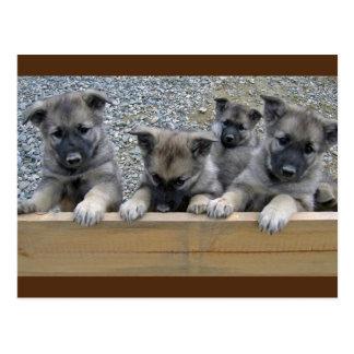 Norwegian Elkhound Puppies Postcard