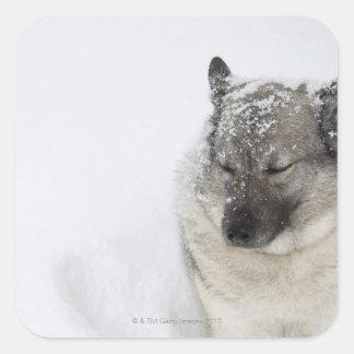 Norwegian Elkhound Square Sticker
