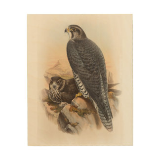 Norwegian Falcon John Gould Birds of Great Britain Wood Canvas