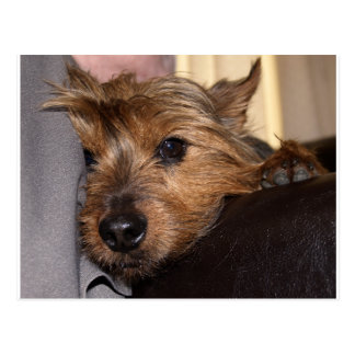 norwich terrier chillin.png postcard