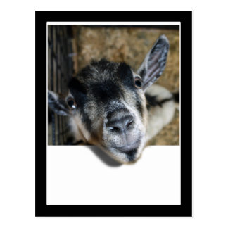 Nosy Goat Looking Out Post Card