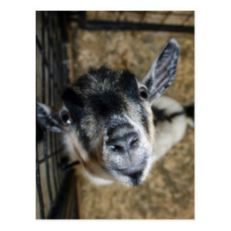Nosy Goat Looking Up Postcard