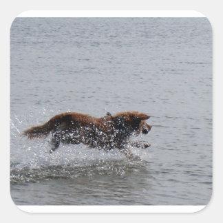 Nova_Scotia_Duck_Tolling_Retriever_in water Square Sticker