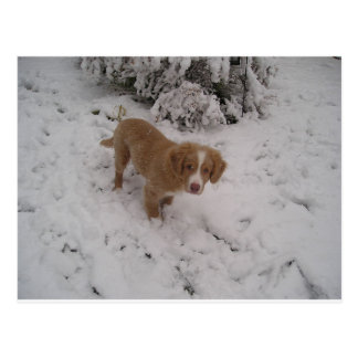 Nova_Scotia_Duck-Tolling_Retriever pup in snow Postcard