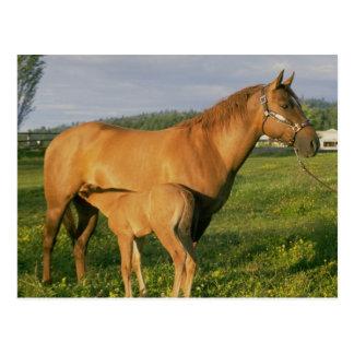 Nursing Foal Postcard