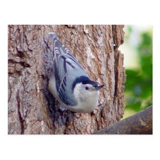 Nuthatch Bird Postcard