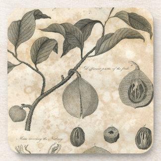 Nutmeg Botanical Specimen Illustration Coaster