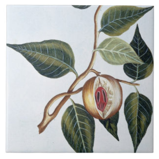 Nutmeg, plate 7, from 'Collection Precieuse et Enl Tile