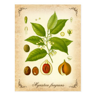 Nutmeg - vintage illustration postcard