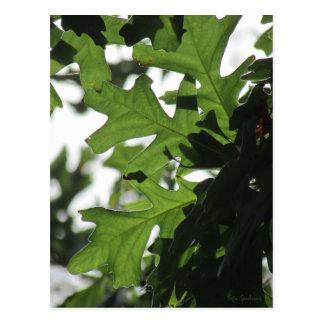 Oak Leaves Postcard