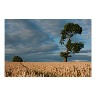 Oak tree in a wheat field poster