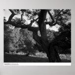 Oak Tree in the West Ridge, UC Santa Cruz, 1963 Poster