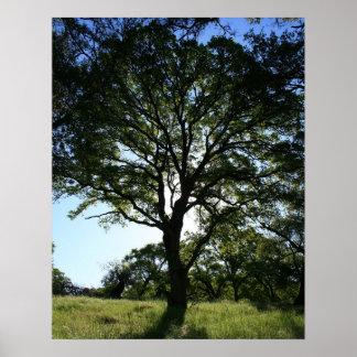 Oak Tree, Spring Poster