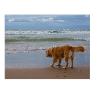 Océan de tintement de chien d'arrêt de canard de carte postale