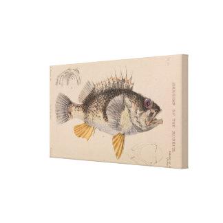 Ocean Perch by Arthur Bartholomew Canvas Wrap