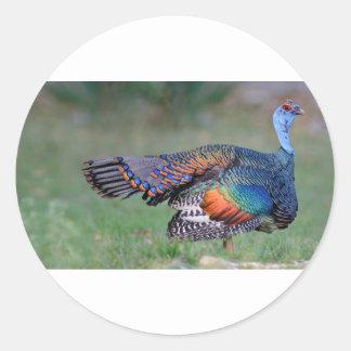 Ocellated Turkey in Guatemala Classic Round Sticker