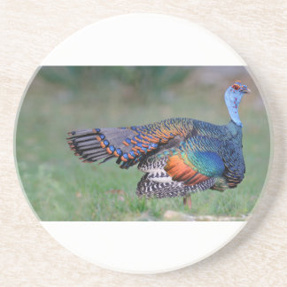 Ocellated Turkey in Guatemala Coaster